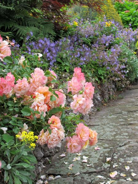 Bellagio Rose